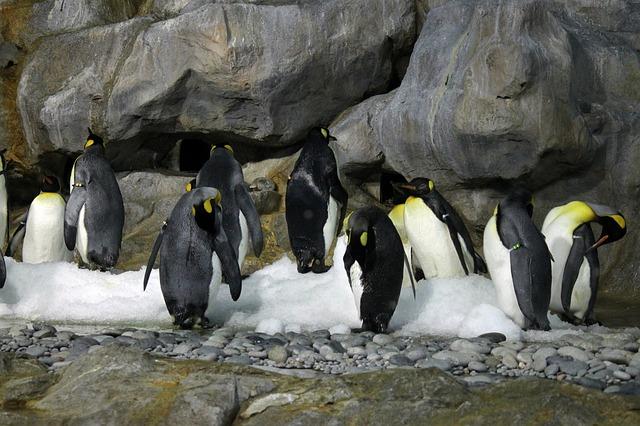 Skupaj z izginjanjem morskega ledu Antarktike izginjajo tudi cesarski pingvini