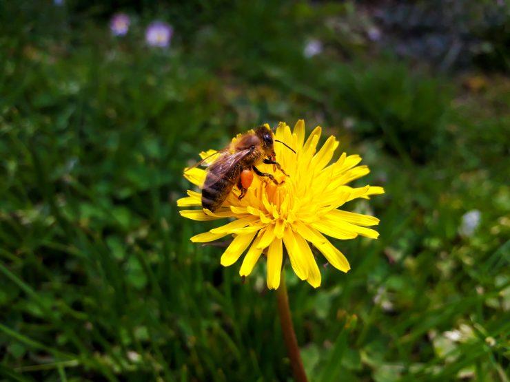 Varovanje in ohranjanje kranjske čebele