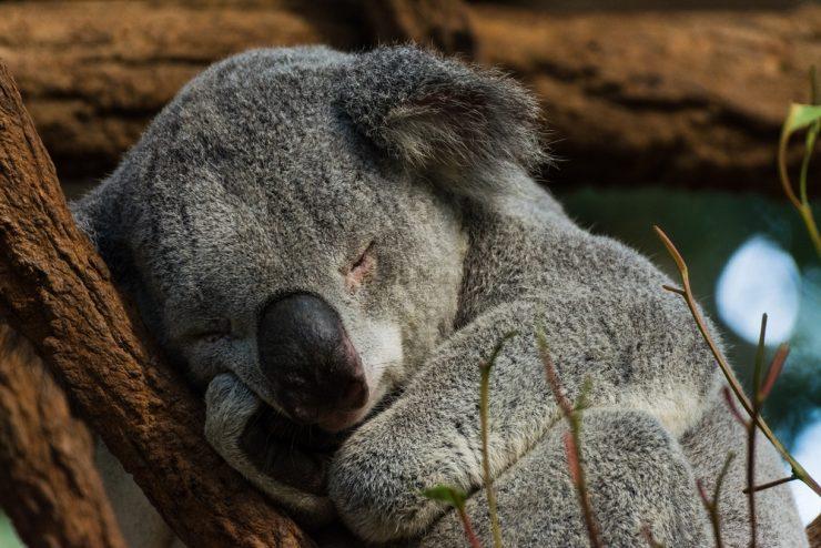 Avstralija: Že tako ogrožene koale izgubljajo še bitko s požari