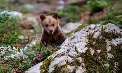 Državni svet za odstrel medvedov in volkov - danes pa dan prostoživečih živali