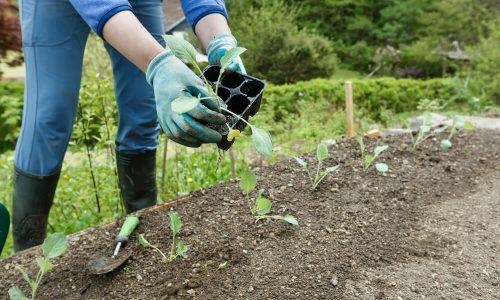 Sejemo in sadimo: presajanje sadik na vrt