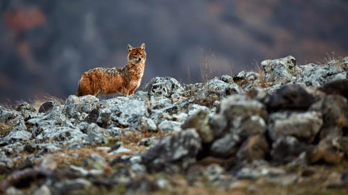 Šakal s 1. majem 2020 postane v Sloveniji lovna vrsta