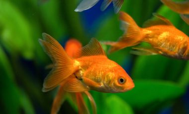 zlate ribice