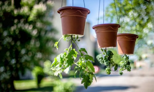 Paradižnik, ki raste navzdol - vrt, kot ga še ne poznate
