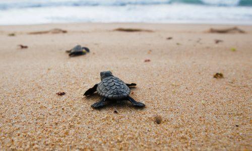 Želve po svetu uživajo v praznih plažah