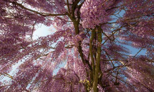 150 let stara glicinija je najlepše drevo na svetu